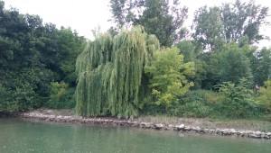 Eine alte Weide